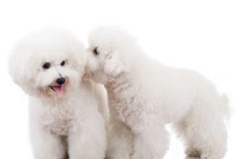 Bichon frise – pies czy suka, czyli psi coaching